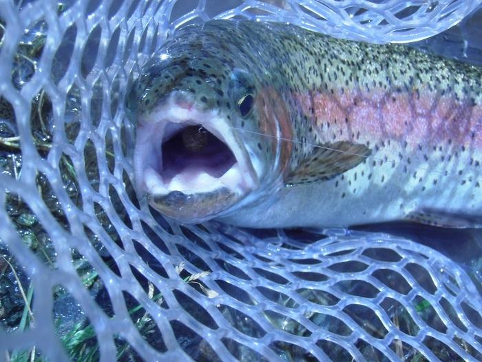 この日の最大魚、サイズ40cmほど。ペレットタイムまん丸を丸呑み…