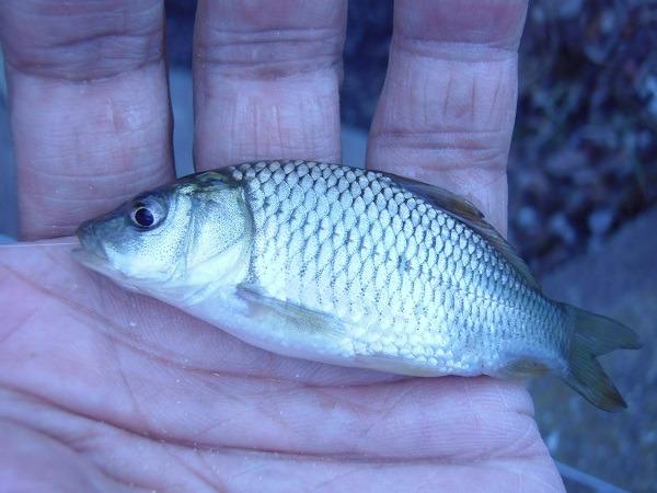 御近所釣行 雨上がりだから次から次へと釣り三昧 2時間釣行で4巡目の水路も釣果は10匹でした(*^ワ^*)