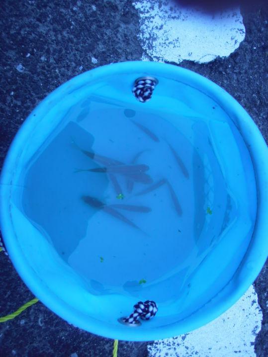 御近所釣行 いい感じの旧~い半透明、琥珀色のグラスロッドを使ってみた 30分で10匹釣った(*^ワ^*)