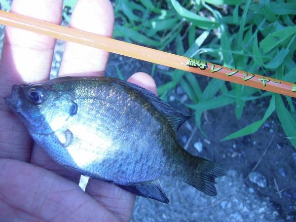 やや大きめの9cmほどのサイズのブルーギル。エサ釣りとは言え、ブ…