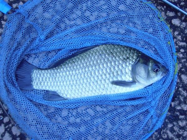 最初に釣れたヘラブナ。サイズは20cmほど。テナガエビ釣り用に使…