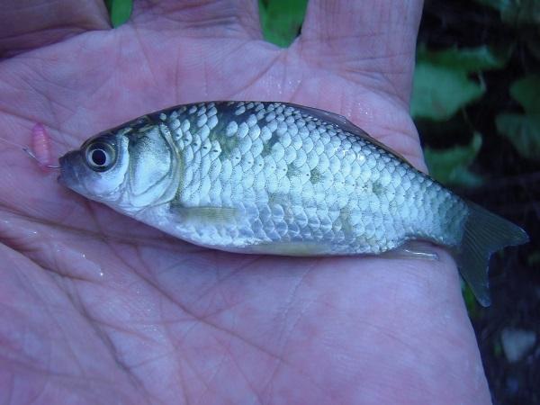 御近所釣行 ダブルヘッダー釣行 大雨後の影響から完全復活 1巡目の水路で15匹釣った(*^ワ^*)