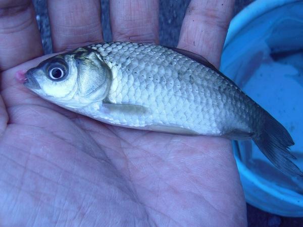 そろそろ納竿かというタイミングで釣れました。12cmほどのいいサ…