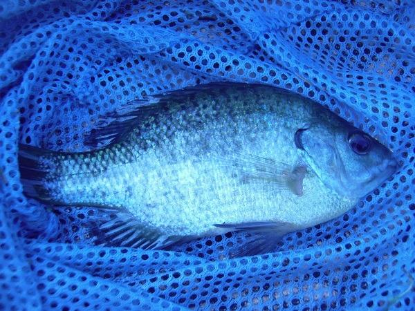 御近所釣行 散歩中のおじさんオススメの釣り場で釣ってみた トリオでブルーギル(♉ฺ。♉ฺ)トホホ