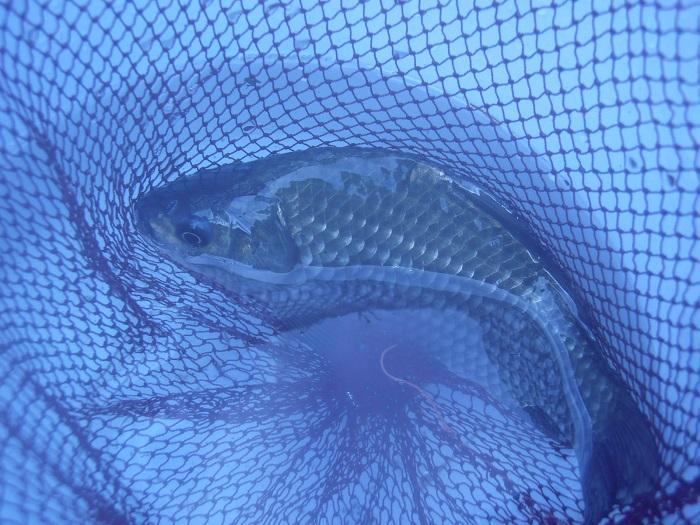 本日の最大魚、18cmくらいのよく太った野鮒。よく引きました。外…