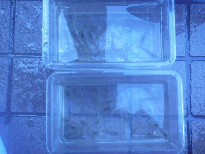 がっぷり喰らいつくテナガエビも釣った 90分で48匹の高釣果(*´∀`*)