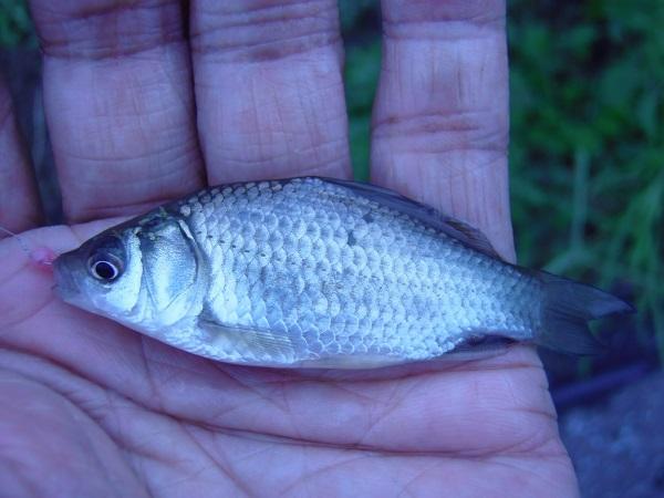 御近所釣行 自転車で10分の近場の水路 10分で釣果10匹 10cm超の良型小鮒も釣れた(*^ワ^*)