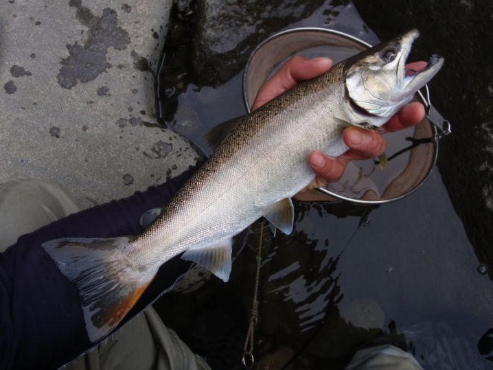 餌によるリアクションバイトで釣った40アマゴ!