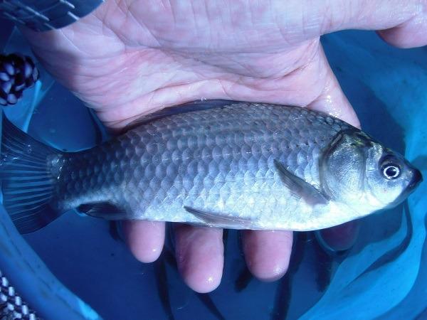 御近所釣行 先週と同じ水路で釣った 20分で16匹の釣果でした 18cmの大型サイズの鮒も( ´∀`)