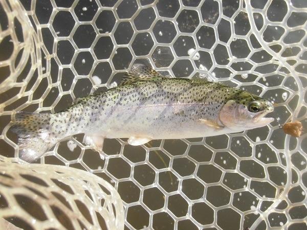 宮城AVさんに釣行 ハンドメイドルアーゆるペレに高反応 半日で釣果29匹でした(^―^)