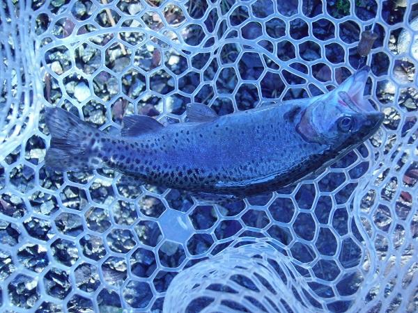 宮城AVさんに釣行しました 自作ルアーにもヒット 6時間で46匹とまずまずの釣果でした(^―^)