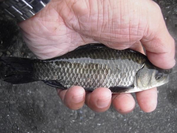 12月でも近所の水路で楽しく小鮒釣り(^―^)
