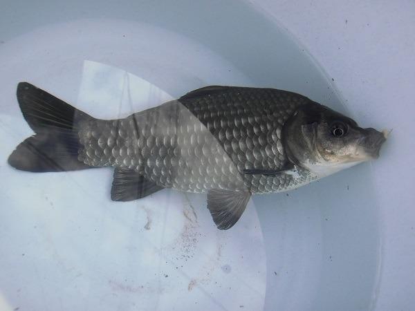 土曜日の午後、近所に釣行 小さな水路で20cmオーバーのでっかい鮒が釣れました(。・ω・。)