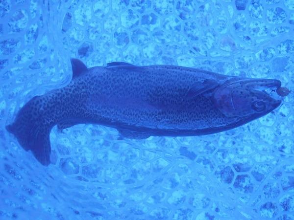 自作ルアーのペレットタイム粒丸が絶好調 冬のイワナセンターさんで20匹トラウトを捕獲しました(`・ω・´)