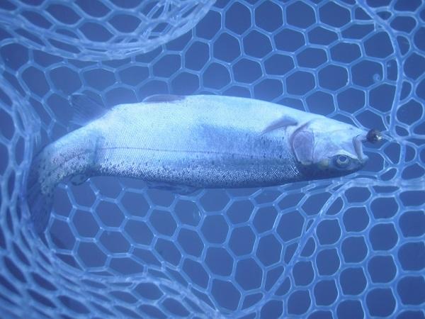 ペレットタイムまん丸での釣果画像です。本日は、ペレットタイムまん…