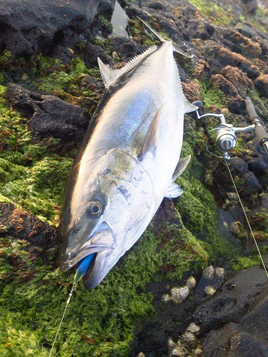 八丈島 地磯 ショアからルアーで巨大ヒラマサ17kg GWに自己記録更新!
