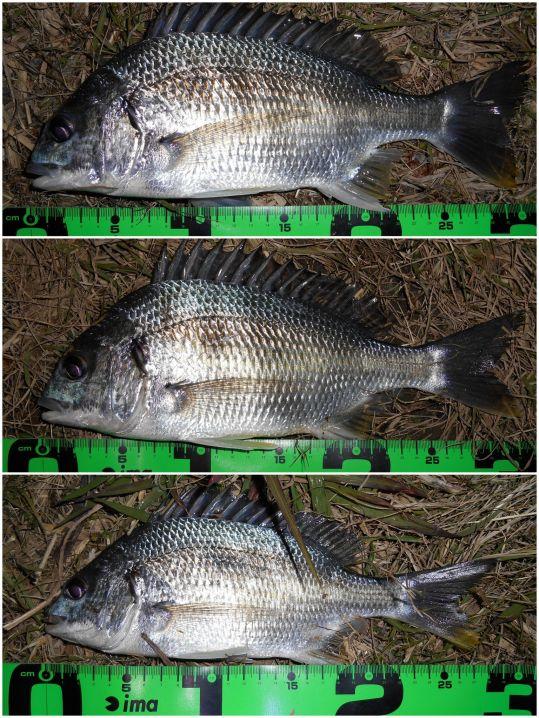 2016年、初釣りは河川キビレ♪
