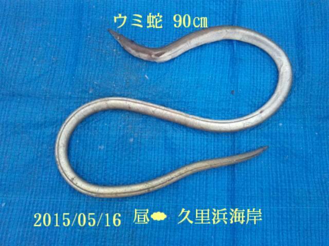 5月16日、久里浜海岸で海蛇(90センチ)がつれました
