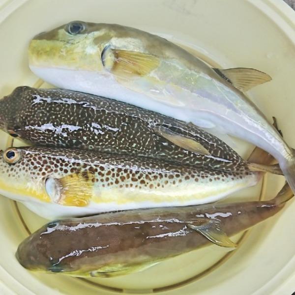 秋の湾フグ釣り(2019年9月28日)