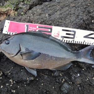 八丈島 地磯フカセで尾長メジナなど釣りました!