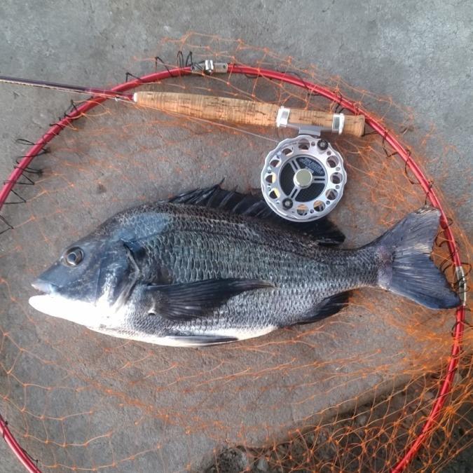 大阪湾奥、チヌのヘチ釣り