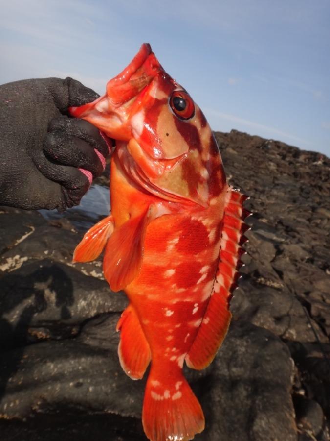八丈島 楽しい地磯のアカハタ釣り GWにkgオーバー釣れた!