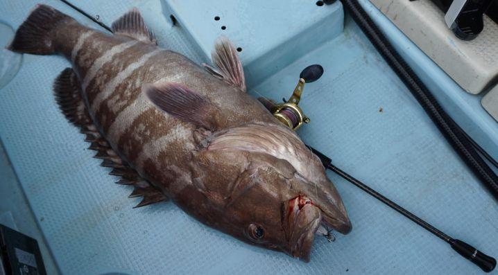 初めて釣れたマハタはデカかった。