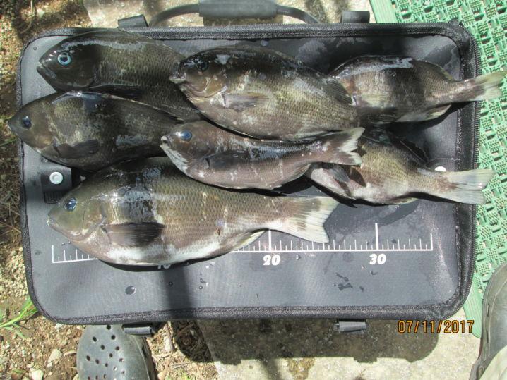 久々の釣行・世界遺産三角西港でクロに遊んで貰いました。