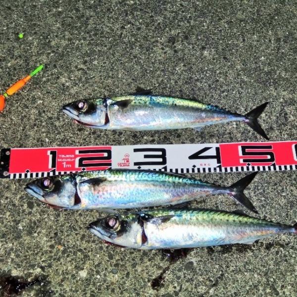 八丈島 夜のサバ釣り 現況調査に行ってきました!