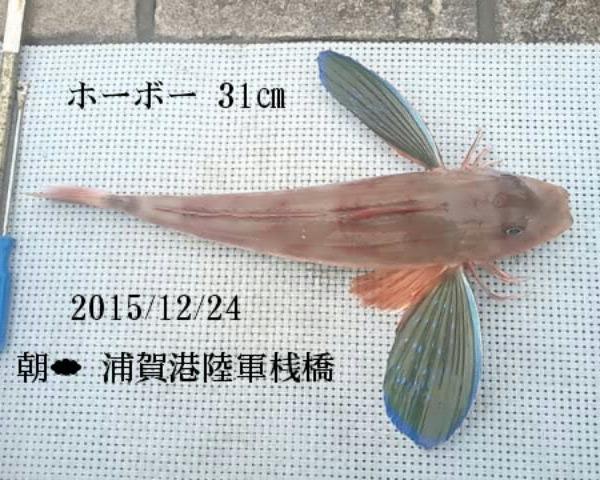 浦賀港陸軍桟橋で釣ったホーボー