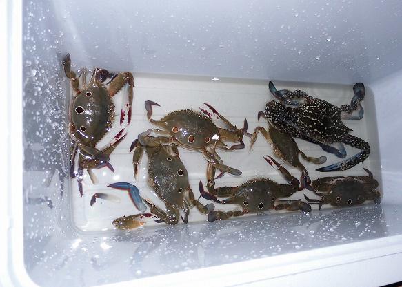 先輩方と合わせて7匹、とても楽しい深夜釣行でした。 タイワンガ…