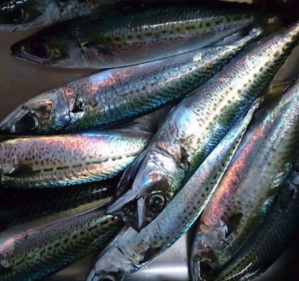 今年は鯖で釣納め。