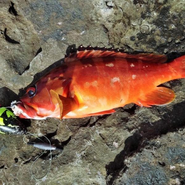 八丈島 5月の地磯はアカハタがよく釣れる!