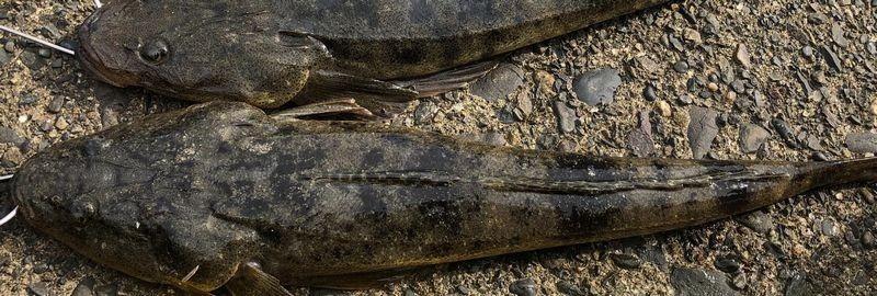 遠州灘サーフのマゴチ