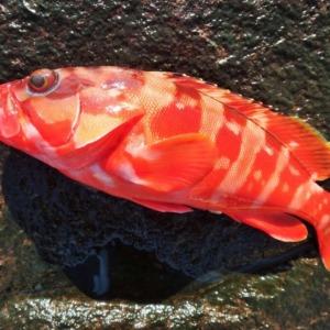 八丈島 お正月用に赤い魚を釣ってきました!