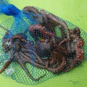 手釣りのマダコ釣り(2019年7月13日)