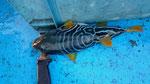 遊漁船龍神丸で釣れた珍しい?魚 シマフグ