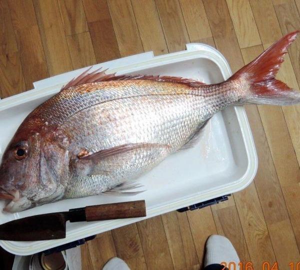 サクラ鯛 3.5Kg