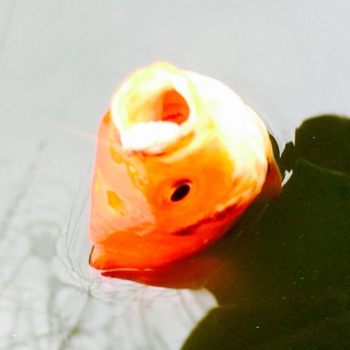 THE 金魚@浮間つり堀公園