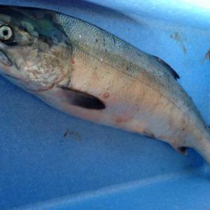今年も釣りたい鮭!!