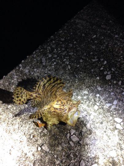 珍魚ハナオコゼ
