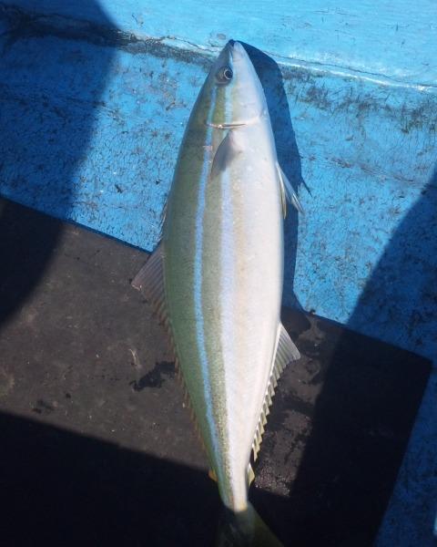 遊漁船龍神丸で釣れた珍しい?魚 ツムブリ