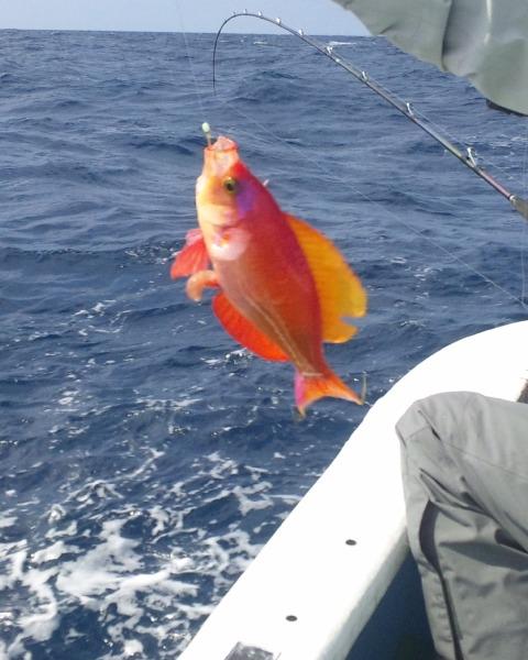 遊漁船龍神丸で釣れた珍しい?魚 シキシマハナダイ