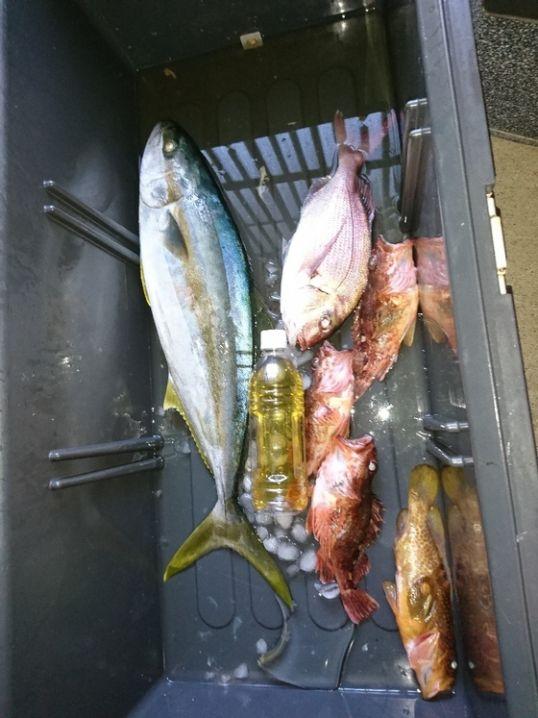 ヒラマサ、真鯛、キジハタ、カサゴ