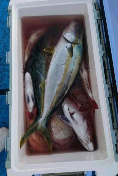 釣果11月12日午後便 ヒラマサ65センチまで2本 真鯛55センチセンチまで21枚