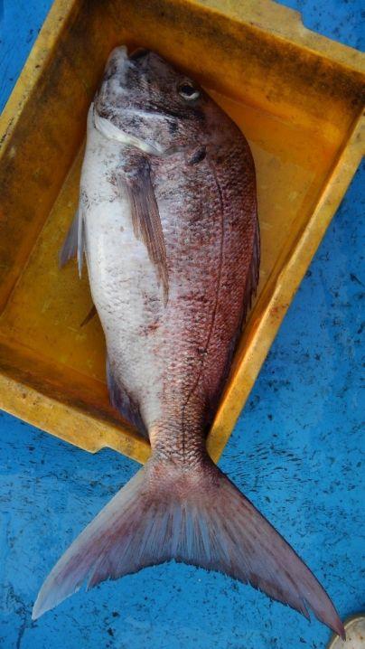 真鯛45センチから75センチまで3枚😅 ワラサ65センチ1本