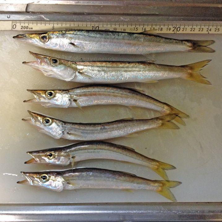 カマスは水と油がいます。沖縄のオ二カマスも釣ってみたいです。