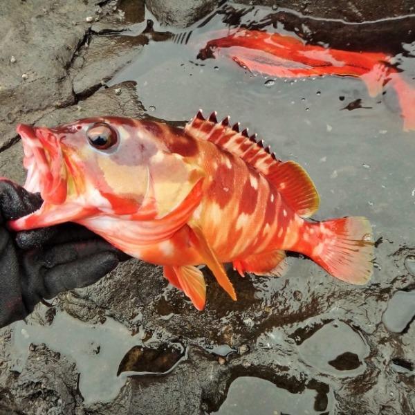八丈島 地磯初釣りはアカハタまつりだー!ウキ釣りで良型入れ喰い!!
