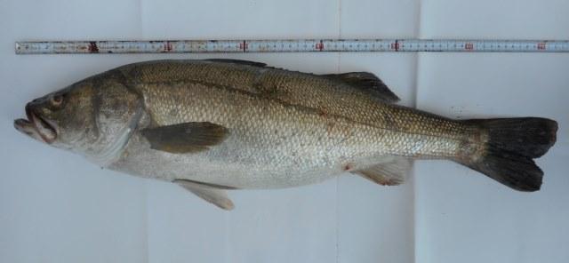 サビキで釣ったサバの呑ませで釣れました