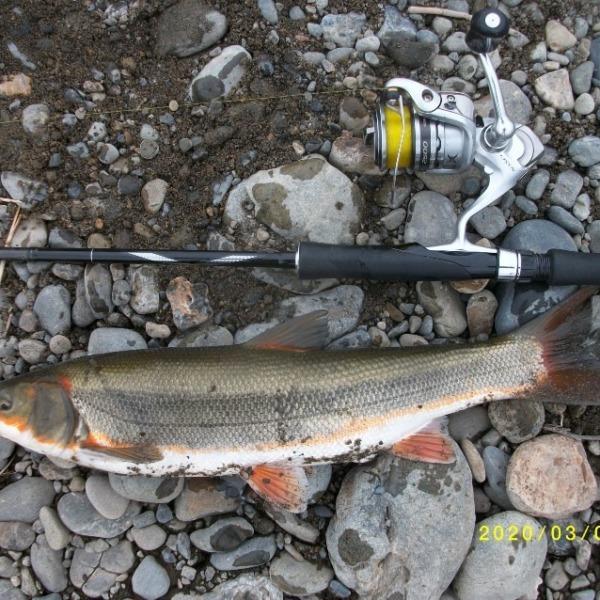 マルタウグイ釣りに行きました。